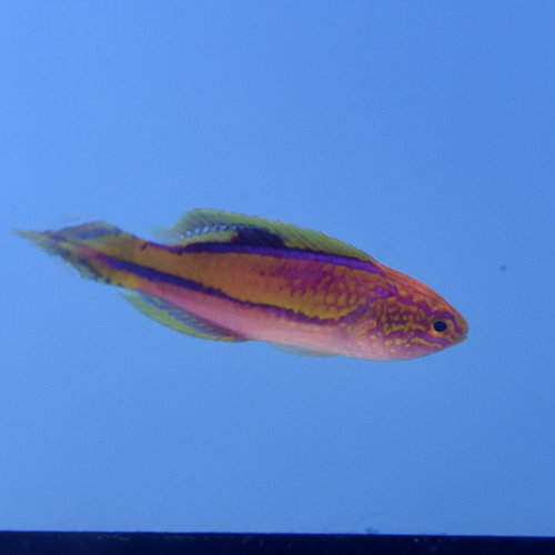 Pintail Fairy Wrasse Male