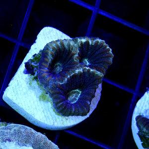 Black Licorice Goniastrea