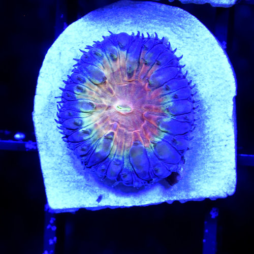 Rainbow Swirl Blastomussa S