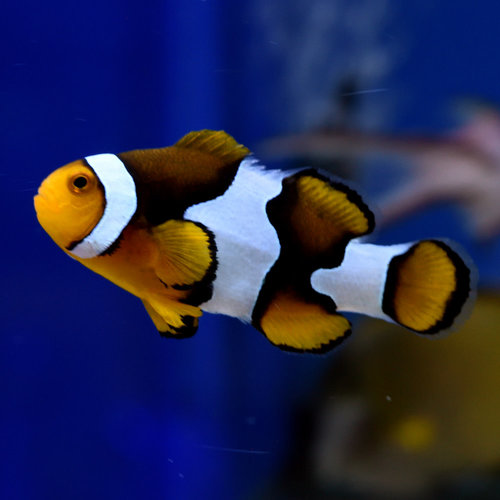 Picasso Clownfish Adult WYSIWYG