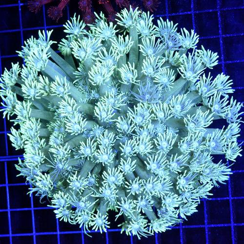 *CORAL* Green Goniopora L