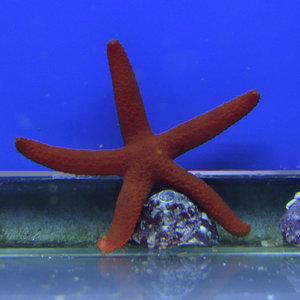 Red Linkia Starfish