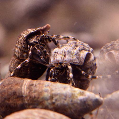 Algae Eating Reef Hermit Crab