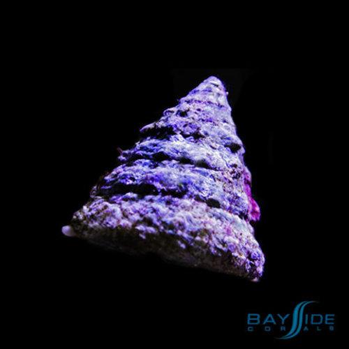 Pyramid Snail
