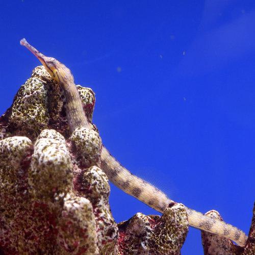 Dragon Face Pipefish