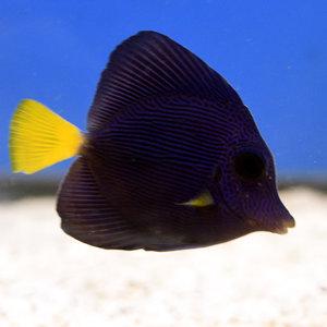 Purple Tang