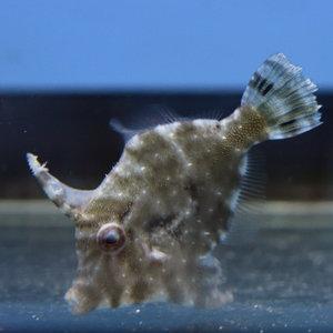 Aiptasia Eating Filefish