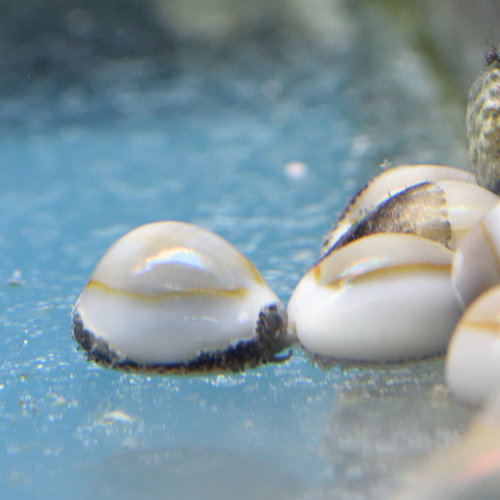Ring Cowrie