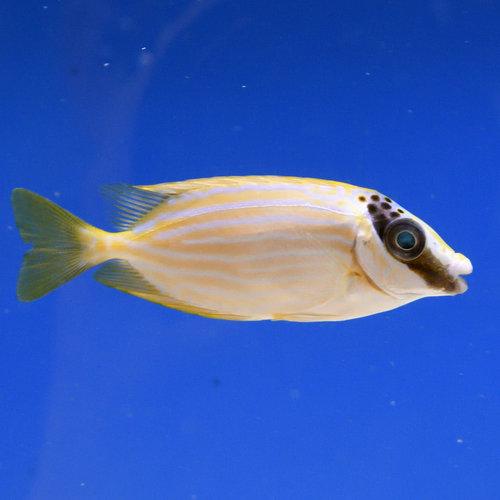 Masked Rabbitfish
