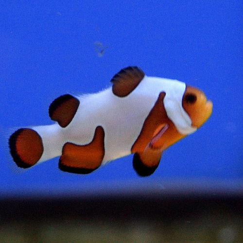 Davinci Clownfish Extreme