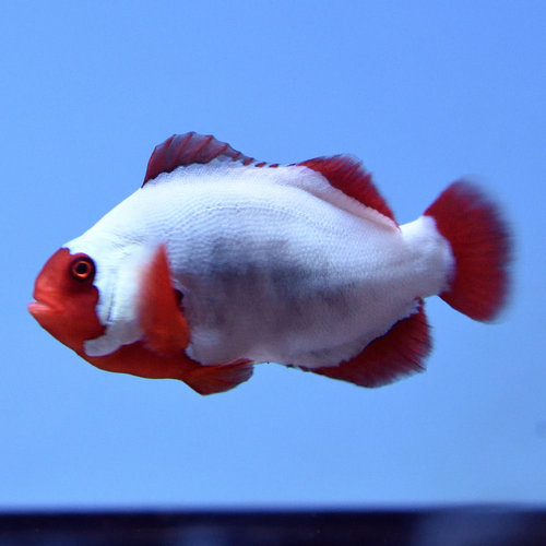 Thunder Maroon Clownfish