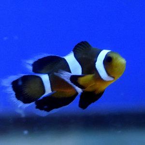 Mocha Longfin Clownfish