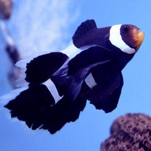 Black Ocellaris Misbar Longfin Clownfish