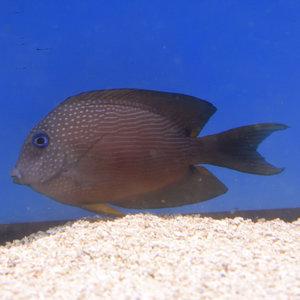 Red Stripe Bristletooth Tang