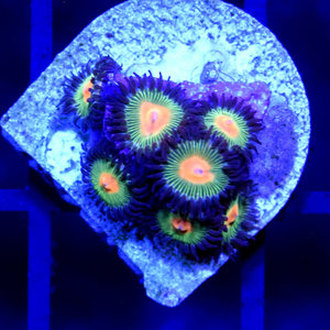 *CORAL* Green Bay Packer Zoanthid