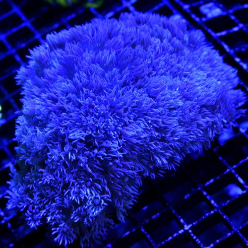 *WYSIWYG CORAL* Purple Goniopora M