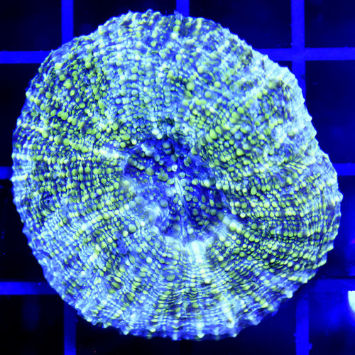 *CORAL* Tonga Parascolymia vitiensis