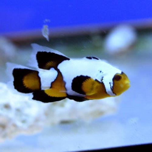 Black Ice Longfin Clownfish