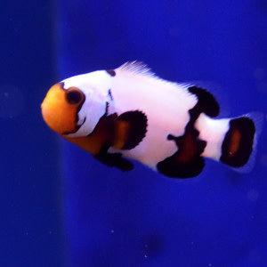 Phantom Premium Clownfish