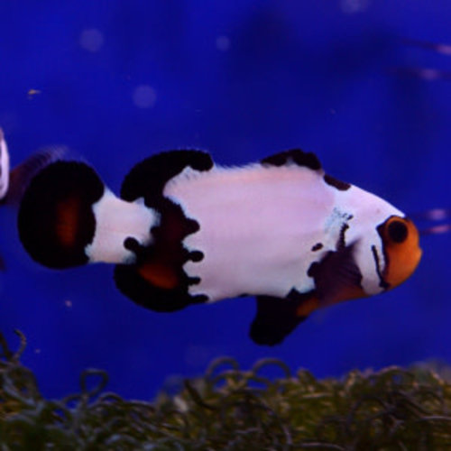 Phantom Premium Clownfish