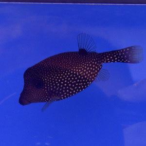 Spotted Boxfish Female