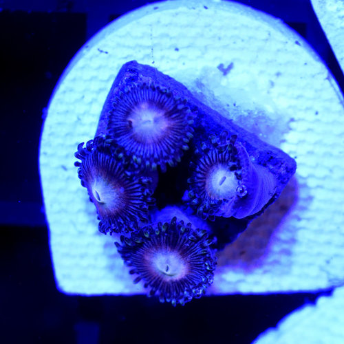 *CORAL* Peaches Zoanthid