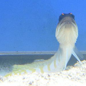 Randall's Jawfish