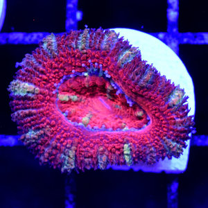 *CORAL* Red & Green Acan S
