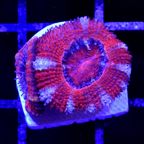 *CORAL* Oh Canada Acan S