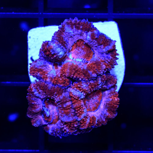 *CORAL* Pink & Red Acan S