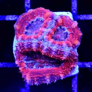 *CORAL* Red Rainbow Acan