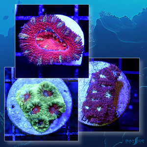 *CORAL* LPS Coral Pack [01]