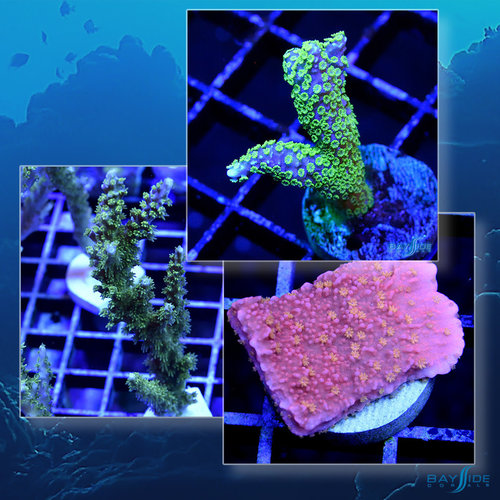 *CORAL* SPS Coral Pack [01]