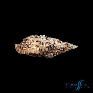 Cerith Snail | 20x Pack