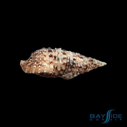 Cerith Snail   10x Pack