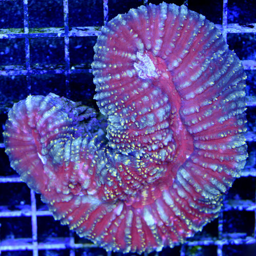 *WYSIWYG CORAL* Yellow Highlighter Scolymia vitiensis