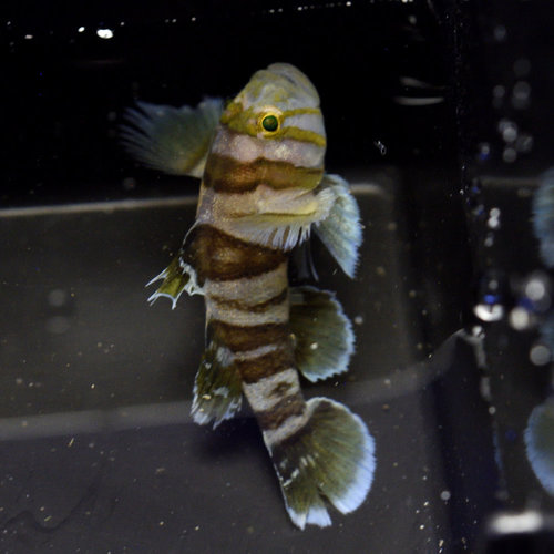 Circus Goby
