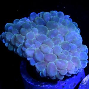 *CORAL* Green Bubble Coral L