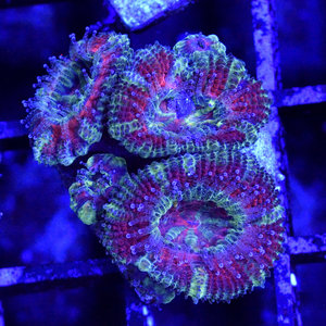 *CORAL* Dirty Devil Acan S