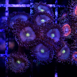 *CORAL* Smurf Zoanthid