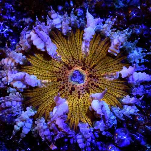 Creamsicle Rock Flower Anemone