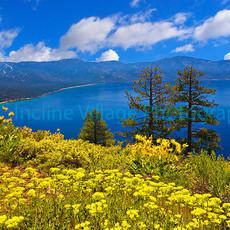Crystal Bay Wildflowers