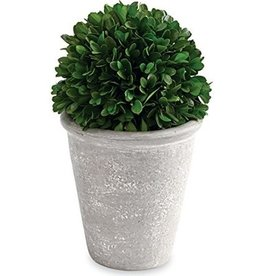 BOXWOOD BALL IN POT-TALL