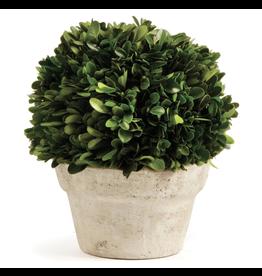 Boxwood Topiary in Medium Pot