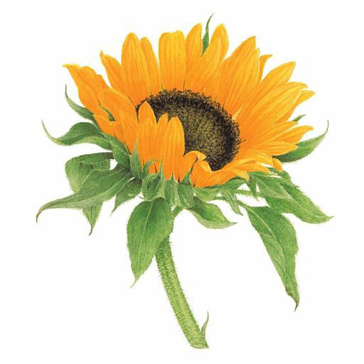 Tattly Tattoo 2-Pack - Sunflower