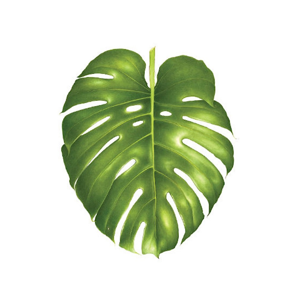 Tattly Tattoo 2-Pack - Philodendron Monstera