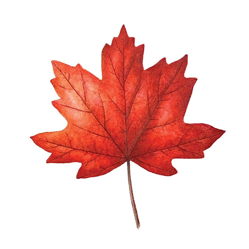 Tattly Tattly Tattoo 2-Pack - Maple Leaf
