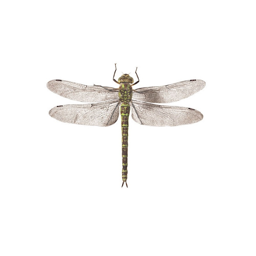 Tattly Tattly Tattoo 2-Pack - Dragonfly