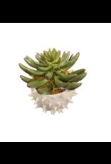 """Finger Succulent in Cacti Pot 5.5"""" x 4"""""""