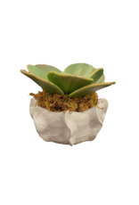 """Paddle Leaf Succulent in Cache Bowl 7.25"""" x 3.5"""""""
